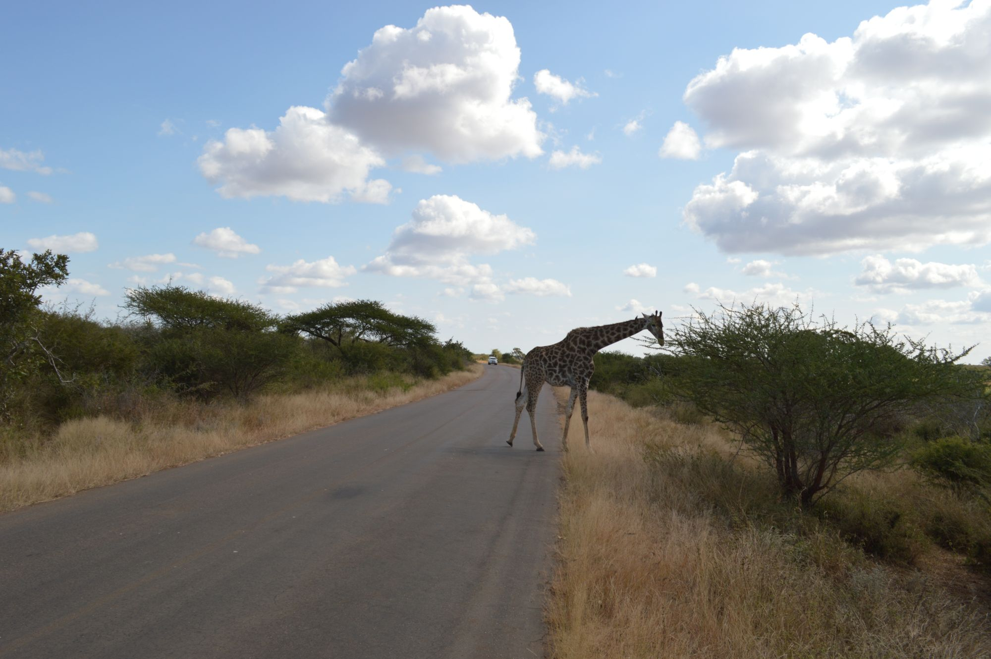 giraffe on the road